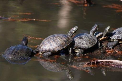 turtles-puttering-along-together